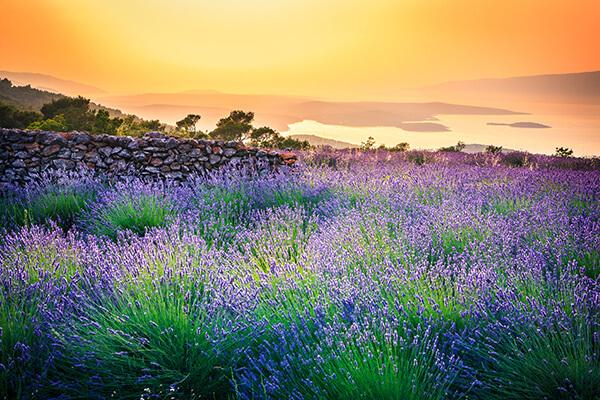 Provence Lavenfelder