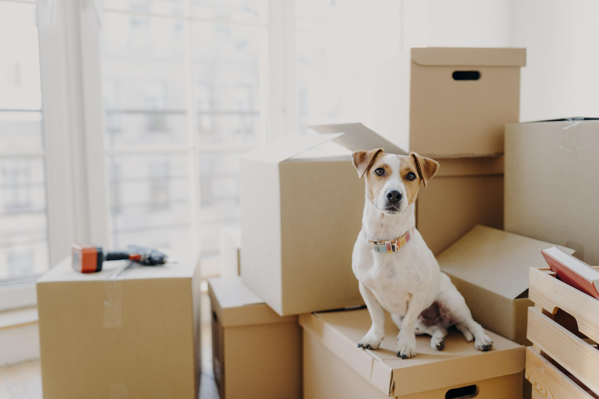Hund sitzt auf Stapel Umzugskartons vor einem Fenster