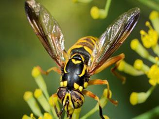 Insect Venom Allergy