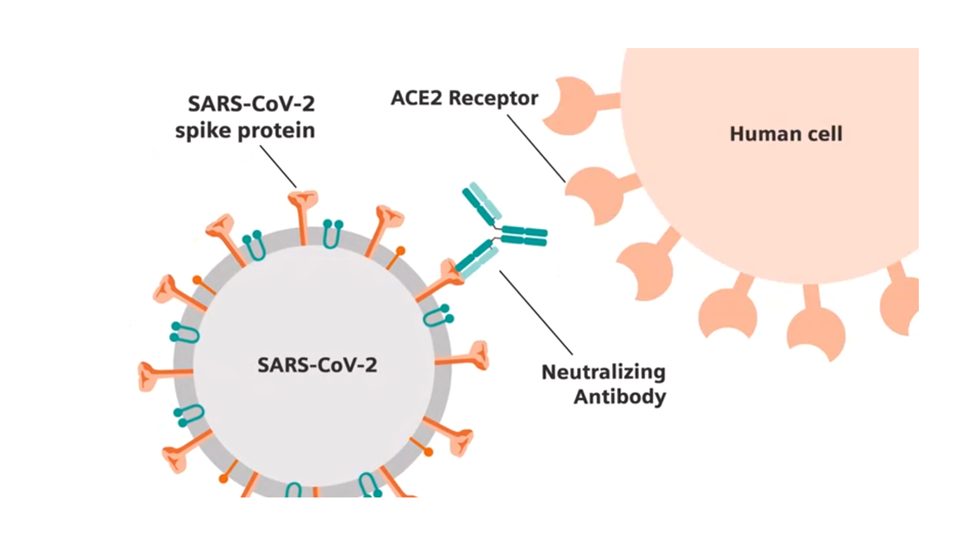 Importantly, the test detects antibodies to a key protein on the surface of the SARS-CoV-2 virus—a spike protein, which binds the virus to cells with a distinct human receptor found in lungs, heart, multiple organs and blood vessels. Studies indicate that certain (neutralizing) antibodies to the spike protein can disarm SARS-CoV-2. Multiple potential vaccines in development for SARS-CoV-2 include the spike protein within their focus.