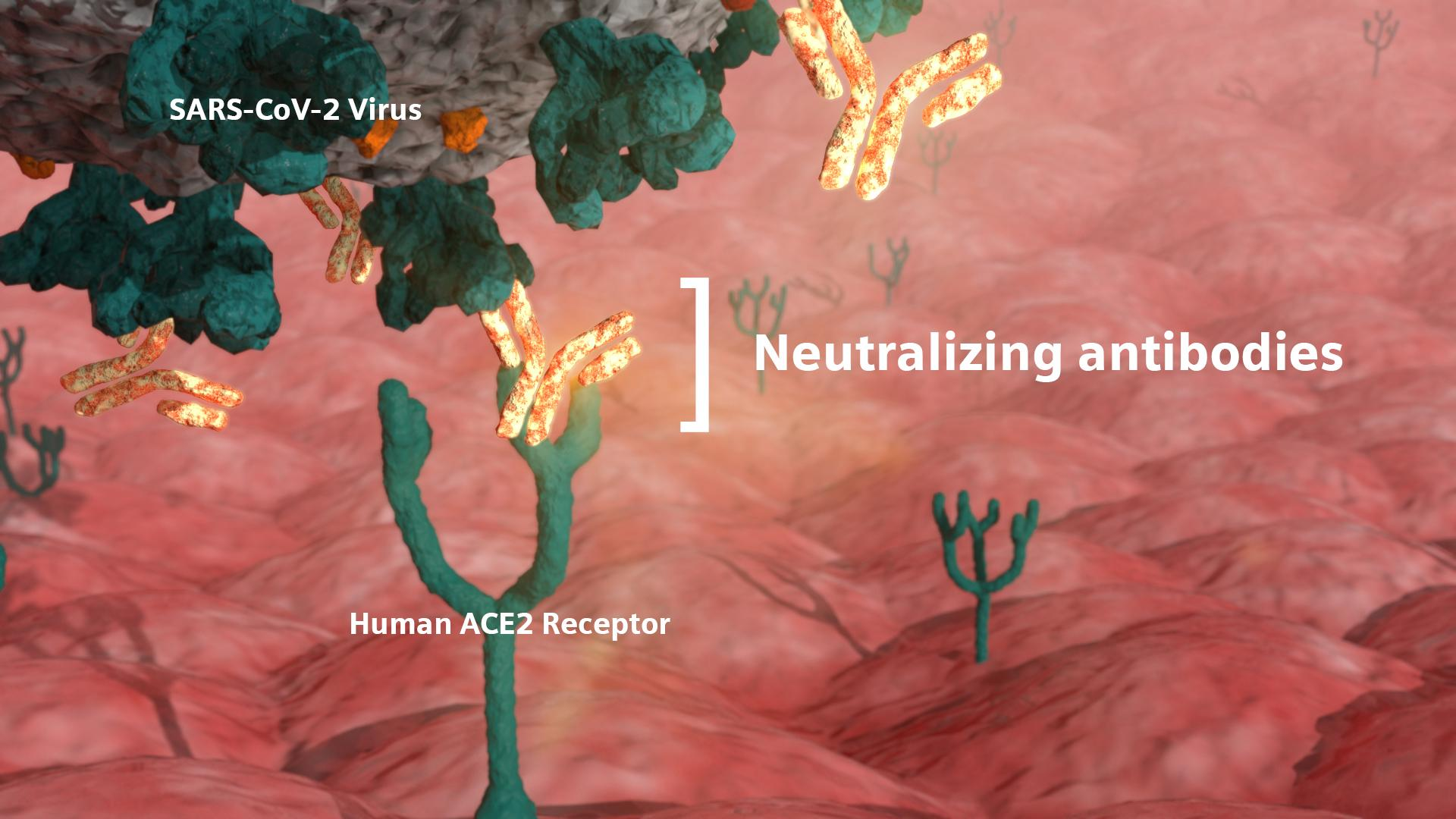 Neutralizing antibodies are critical in the fight against COVID-19 because they defend cells from infection by the virus.