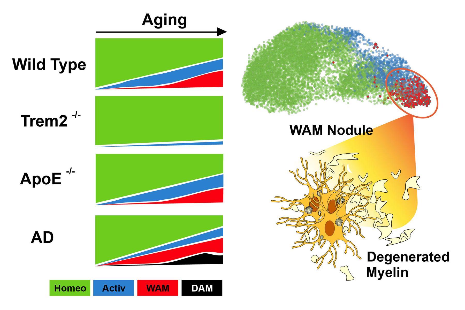 white matter associated microglia