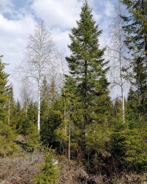 Das Bild zeigt Bäume verschiedener Größe in einem Wald.