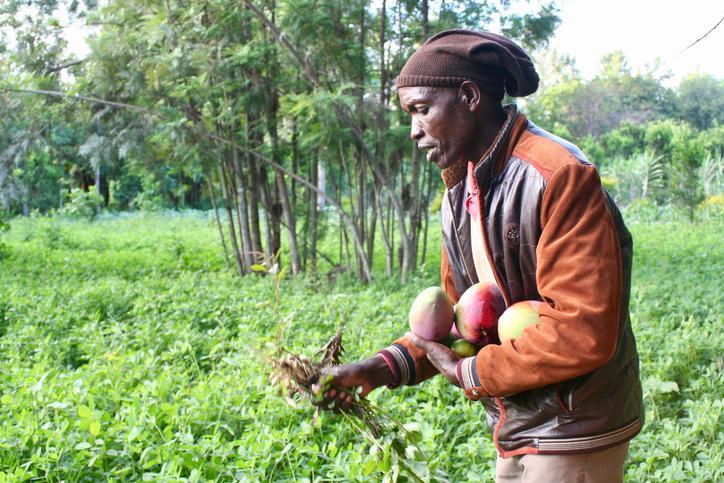 Das Bild zeigt einen Mann bei der Mango-Ernte.