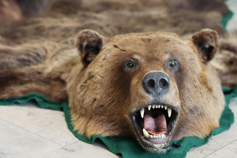 Ein beschlagnahmter Bären-Teppich.