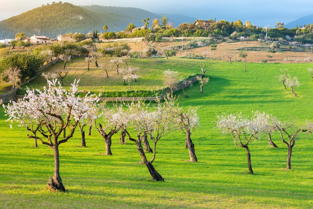 Mandelbäume in Mallorca