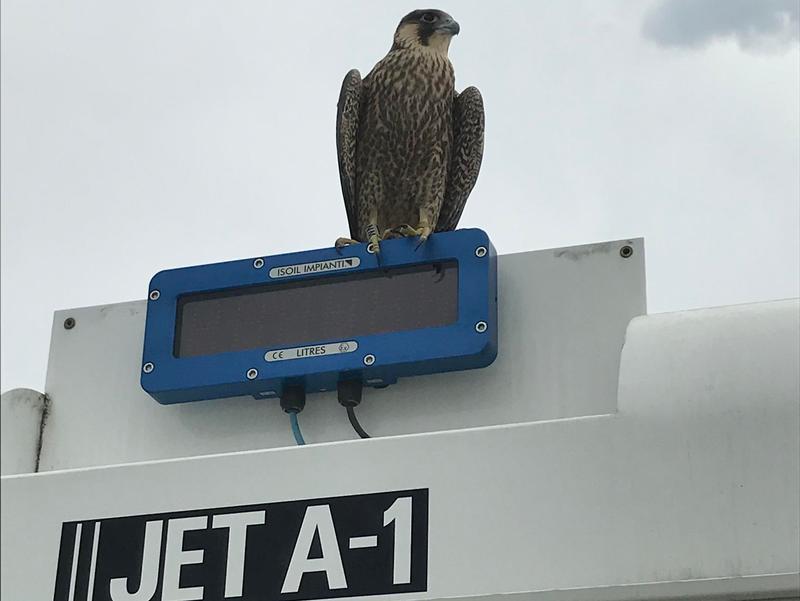 Falke auf Tankwagen