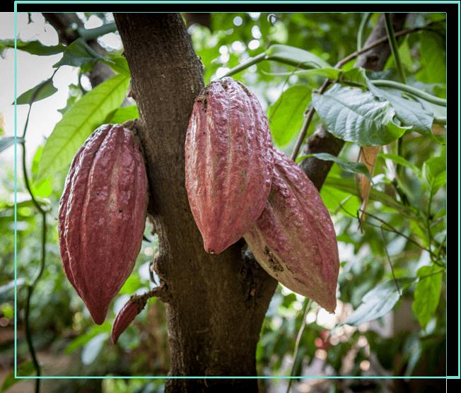 Kakaobaum mit Früchten