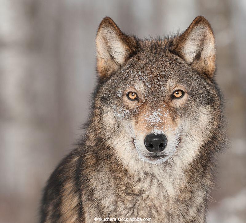 Alaska Wolf  berge und meer
