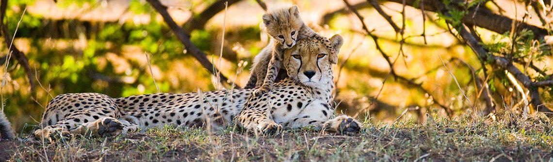 Tansania Serengeti Tiger Tigerbaby berge und meer