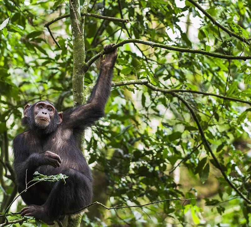 uganda kibaleaffe berge und meer
