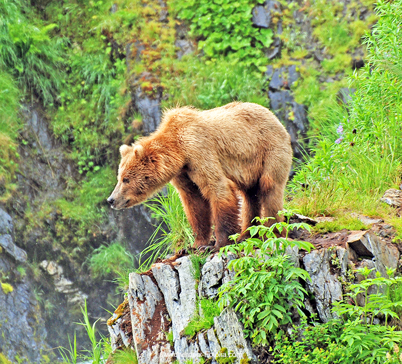 Alaska Kodiak baer  berge und meer