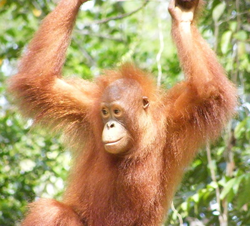 malaysia orang utang berge und meer