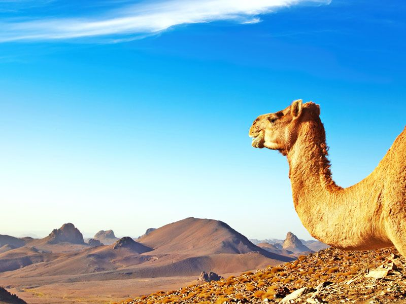 tunesien sahara kamel ferne berge und meer