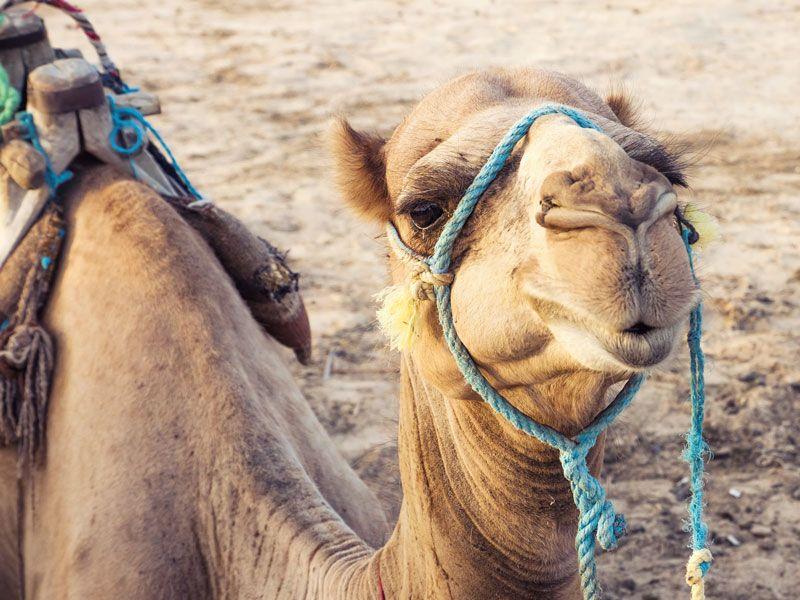 tunesien kamel wueste berge und meer