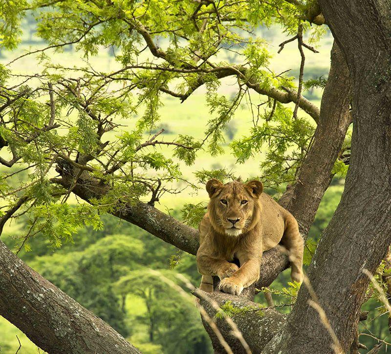 uganda dritter loewe berge und meer