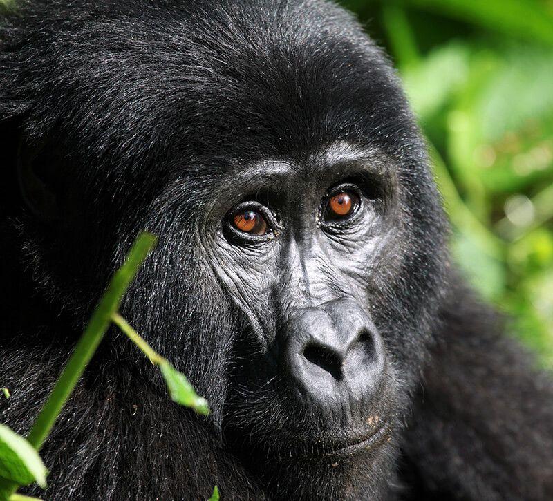 uganda affe berge und meer
