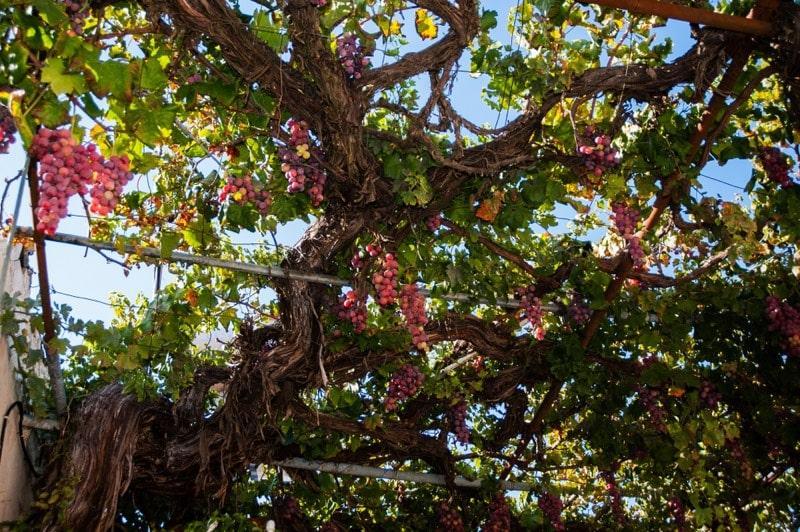 Weintrauben larnaka