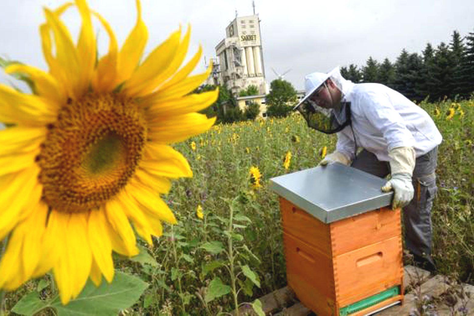 Robert Schramm, Mitarbeiter des Baustoffe-Anbieters Sakret in Claußnitz, kümmert sich gemeinsam mit anderen Beschäftigten um die Bienenvölker auf dem Gelände des Unternehmens. Eine Blühwiese stellt sicher, dass die Insekten nicht lange nach Nektar suchen müssen. Foto: Andreas Seidel