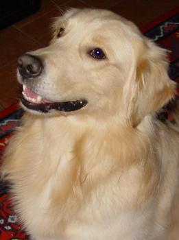 Spaßiges Bild von einem Golden Retriever Hund, als Sicherheitsbeauftragter