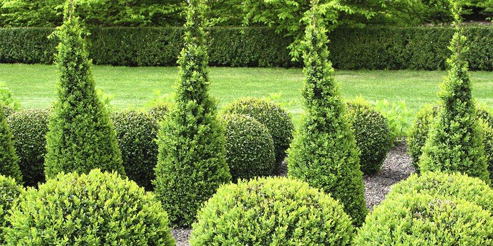 Standardisierung am Beispiel Buchsbaum